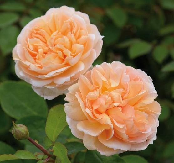 Rose 'The Lady Gardener', Ausbrass, Rosa 'The Lady Gardener', English Rose 'The Lady Gardener', David Austin Roses, English Roses, Shrub Roses, Apricot roses, very fragrant roses, Rose bushes, Garden Roses, Peach roses, Orange roses