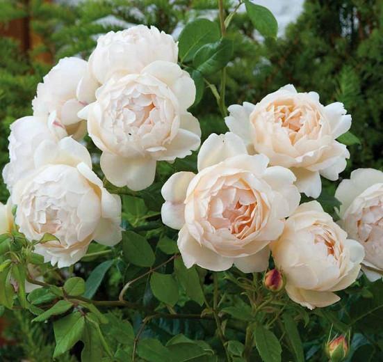 Rosa Wollerton Old Hall, Rosa Wollerton Old Hall, English Rose Wollerton Old Hall, David Austin Rose, English Rose, Fragrant roses, Shrub roses, cream roses, white roses