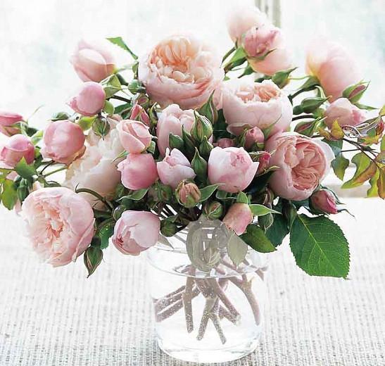Rose 'The Generous Gardener', Ausdrawn, Rosa 'The Generous Gardener', English Rose 'The Generous Gardener', David Austin Roses, English Roses, Climbing Roses, Pink roses, very fragrant roses, fragrant roses
