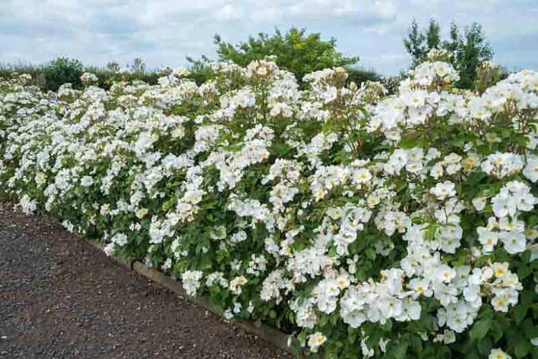 Rose Kew Gardens, Rosa Kew Gardens, English Rose Kew Gardens, David Austin Rose, English Rose, Fragrant roses, Shrub roses, white roses, Hedge Rose
