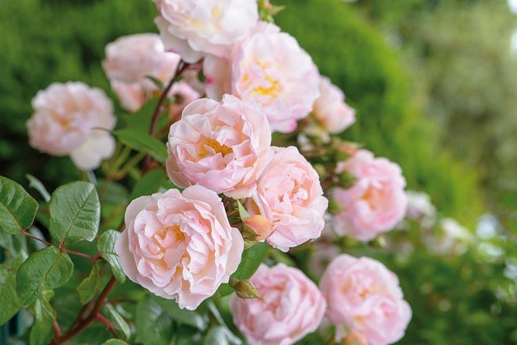 Rose 'The Lady of the Lake', Rosa 'The Lady of the Lake', Rambler Roses, English Roses, David Austin Roses', Climbing Roses, Rambler Roses