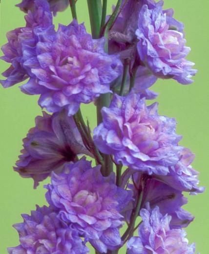 Delphinium Highlander Blueberry Pie, Delphinium Elatum 'Highlander Blueberry Pie', Highlander Series, Lavender Delphinium, Lavender flowers, Purple Delphinium, Purple flowers