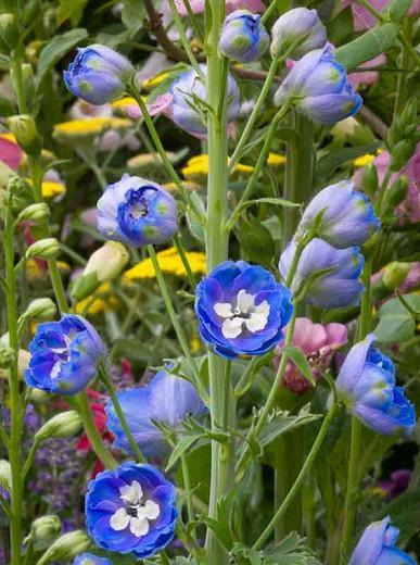 Delphinium grandiflorum 'Delfix Blue', Delphinium 'Delfix Blue', Chinese Delphinium 'Delfix Blue', Bouquet Delphinium 'Delfix Blue', Delfix Series, Blue Delphinium, Blue flowers, Dwarf Delphiniums