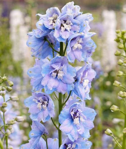 Delphinium Guardian Lavender, Delphinium Elatum 'Guardian Lavender', Guardian Series, Lavender Delphinium, Lavender flowers