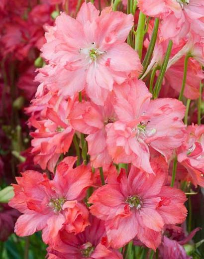 Delphinium Princess Caroline, Delphinium Elatum 'Princess Caroline', Salmon Delphinium, Salmon flowers, Coral Delphinium, Coral flowers