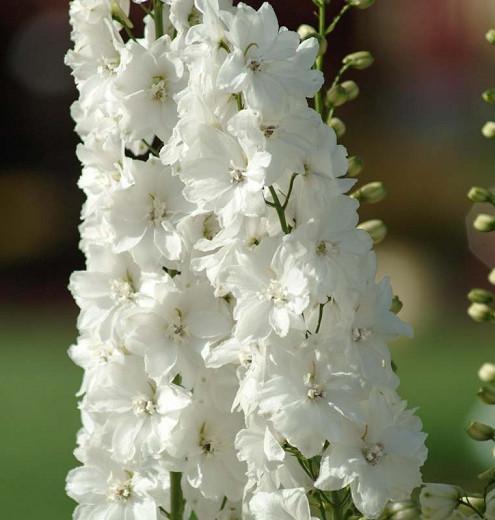 Delphinium Guardian White, Delphinium Elatum 'Guardian White', Guardian Series, White Delphinium, White flowers