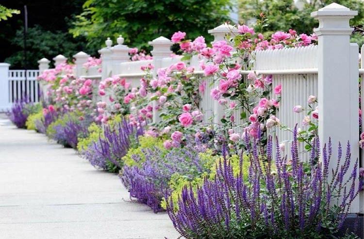 Nepeta Racemosa Walker's Low, Nepeta Walker's Low, Catmint Walker's Low, Best perennial plants, Award perennial, long flowering perennial