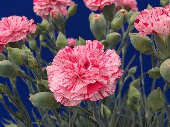 Dianthus 'Pinball Wizard', Pink 'Pinball Wizard', Pinball Wizard Pink, Pink Flowers, Pink Dianthus, Pink Garden Pink