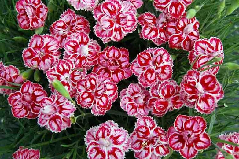 Dianthus 'Starbust', Pink 'Starbust', Starbust Pink, Pink Flowers, Pink Dianthus, Pink Garden Pink