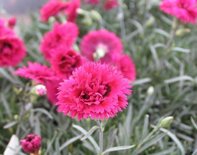 Dianthus 'Starlette', Pink 'Starlette', Starlette Pink, Pink Flowers, Pink Dianthus, Pink Garden Pink