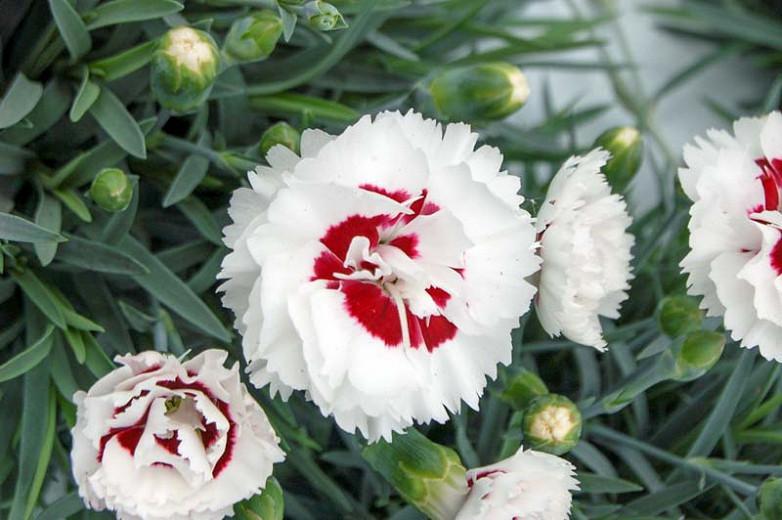Dianthus 'Coconut Surprise', Pink 'Coconut Surprise', Coconut Surprise Maiden Pink, Red Flowers, Red Dianthus, Bicolor Flowers, Bicolor Dianthus, Bicolor Garden Pink