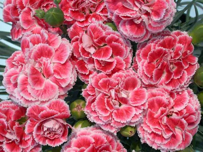 Dianthus 'Coral Reef', Pink 'Coral Reef', Coral Reef Pink, Salmon Flowers, Salmon Dianthus, Pink Flowers, Pink Dianthus,Pink Garden Pink