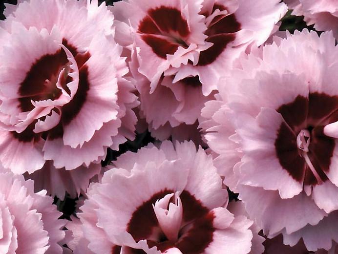 Dianthus 'Raspberry Surprise', Pink 'Raspberry Surprise', Raspberry Surprise Pink, Red Flowers, Red Dianthus, Pink Flowers, Pink Dianthus, Bicolor Flowers, Bicolor Dianthus