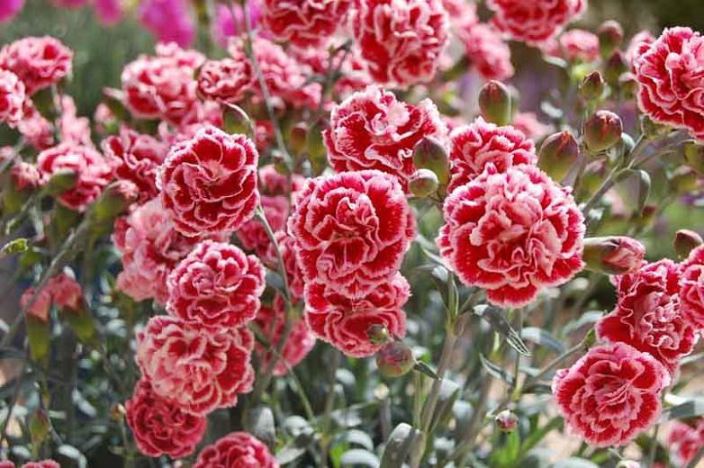 Dianthus 'Sugar Plum', Pink 'Sugar Plum', Sugar Plum Pink, Red Flowers, Red Dianthus, Pink Flowers, Pink Dianthus, Bicolor Flowers, Bicolor Dianthus