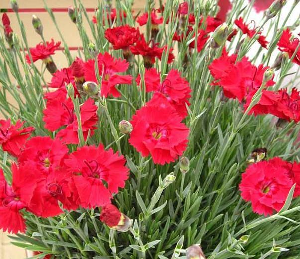 Dianthus 'Fire Star', Pink 'Fire Star', Fire Star Maiden Pink, Dianthus 'Devon Xera, Red Flowers, Red Dianthus