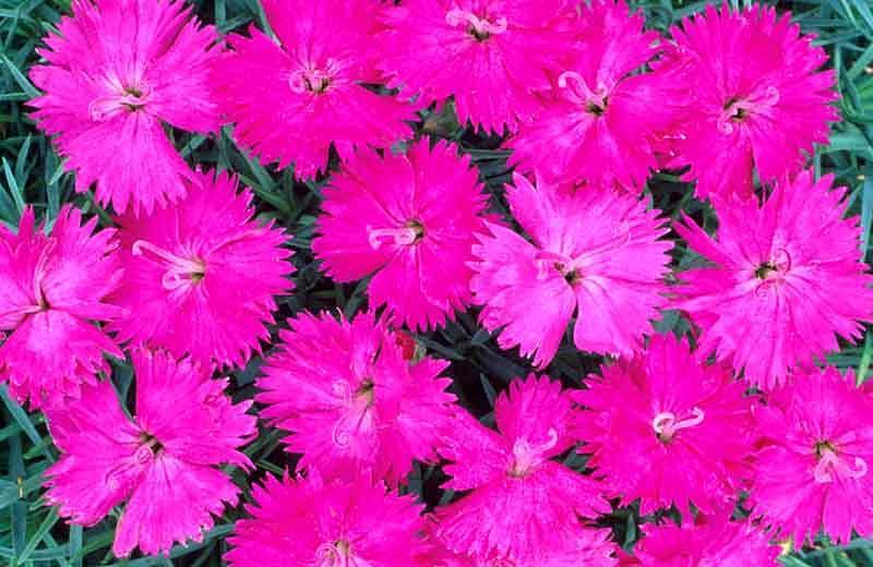 Dianthus 'Neon Star', Pink 'Neon Star', Neon Star Pink, Pink Flowers, Pink Dianthus, Pink Garden Pink