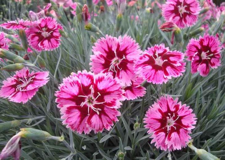 Dianthus Superstar Pink