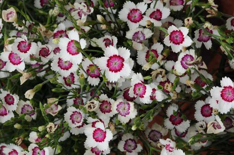 Dianthus deltoides Arctic Fire, Maiden Pink Arctic Fire, Lady's Cushion Arctic Fire, Meadow Pink Arctic Fire, Perennial Dianthus, Evergreen perennial, Bicolor Flowers, Bicolor Dianthus