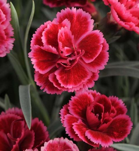 Dianthus 'EverLast Burgundy Blush', Pink 'EverLast Burgundy Blush', EverLast Burgundy Blush Pink, Red Flowers, Red Dianthus
