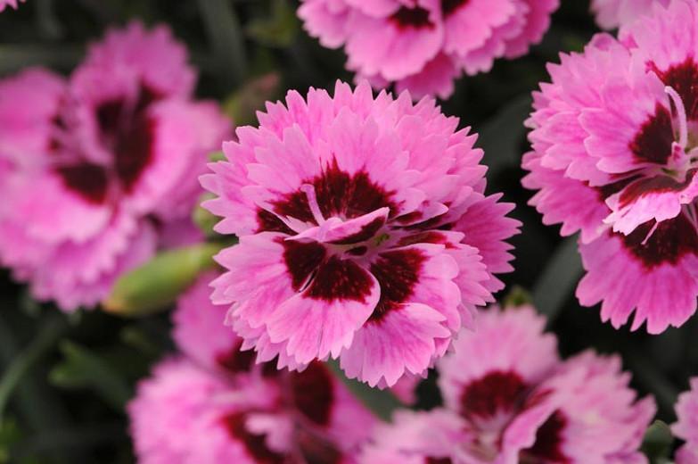Dianthus 'EverLast Lilac+Eye', Pink 'EverLast Lilac+Eye', EverLast Lilac+Eye Pink, Pink Flowers, Pink Dianthus