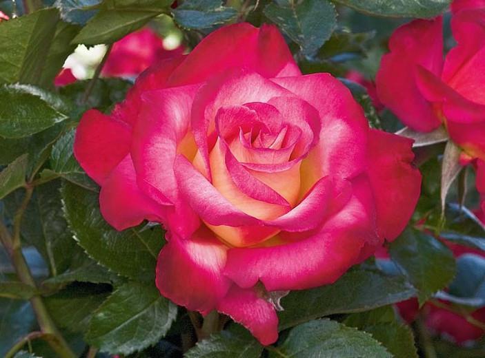 Rosa 'Dick Clark', Rose 'Dick Clark', Rosa 'WEKfunk', Grandiflora Roses, Shrub Roses, Red roses, Bicolor Roses, Rose bush