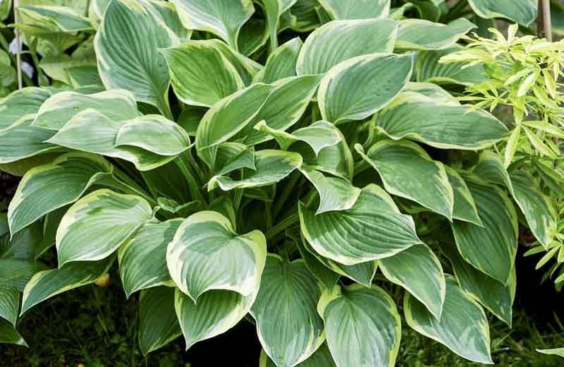 Hosta Fortunei var. Aureomarginata, Gold-Edged Plantain Lily, Hosta Fortunei var. Obscura 'Aureomarginata', Hosta 'Aureomarginata' (fortunei), Hosta 'Obscura Marginata' (fortunei), Hosta 'Yellow Edge', Shade perennials, Plants for shade, Hosta 'Gold Crown'