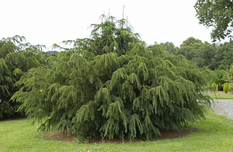 Taxus baccata 'Dovastoniana',English Yew 'Dovastoniana', Common Yew 'Dovastoniana', Dovaston's Yew, Taxus baccata 'Dovastonii', Westfelton Yew, Evergreen Shrub, Evergreen Tree