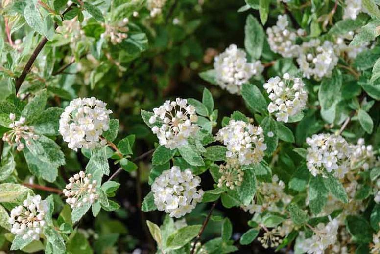 Spiraea × vanhouttei 'Pink Ice', Vanhoutte Spirea 'Pink Ice', Bridalwreath 'Pink Ice', White Flowers, Bridal Wreath Spirea 'Pink Ice'