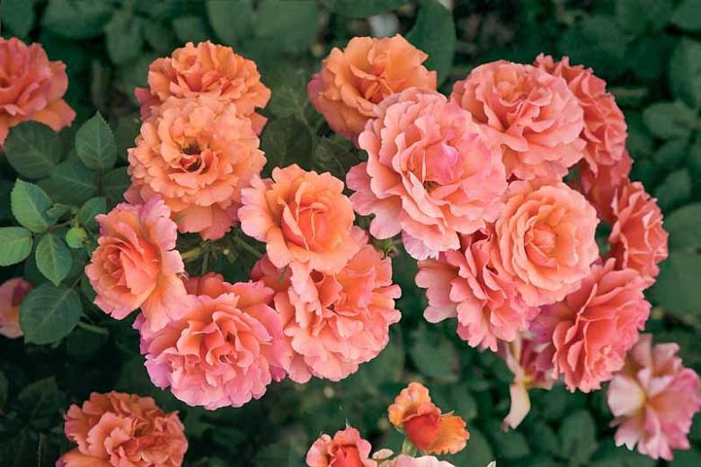 Rosa 'Easy Does It',Rose 'Easy Does It', Rosa 'Eazy Time', Rosa ' Firestar', Rosa ' HARpageant', Shrub Roses, Floribunda Roses, Orange Roses, Yellow Roses