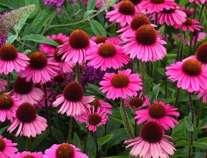 Echinacea Sensation Pink Coneflower
