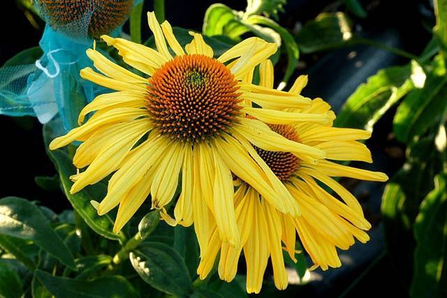 Echinacea 'Daydream', Coneflower 'Daydream', Yellow coneflower, Yellow coneflowers, Yellow Echinacea, Coneflower, Coneflowers