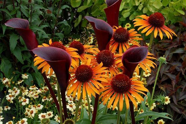 Echinacea 'Flame Thrower', Coneflower 'Flame Thrower', Orange coneflower, Orange coneflowers, Orange Echinacea, Yellow coneflower, Yellow coneflowers, Yellow Echinacea, Coneflower, Coneflowers