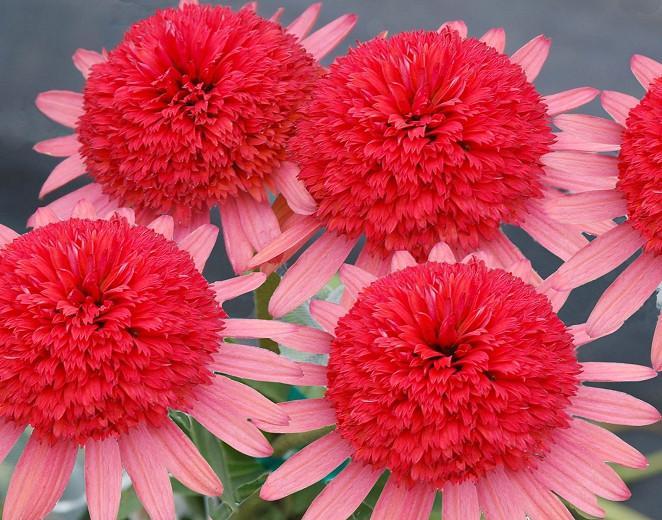Echinacea 'Secret Passion', Coneflower 'Secret Passion', Pink coneflower, Pink coneflowers, Pink Echinacea, Double coneflower, Double coneflowers, Double Echinacea, Coneflower, Coneflowers
