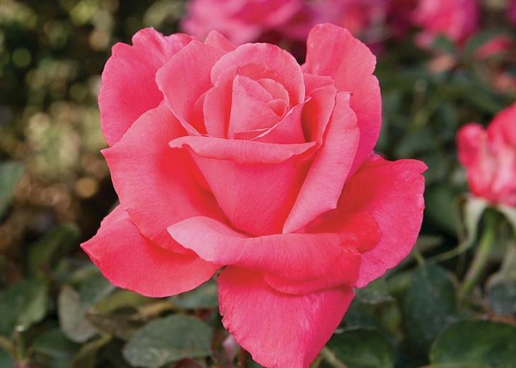 Rosa 'Electron', Rose 'Electron', Rosa ' Mullard Jubilee', Hybrid Tea Roses, Shrub Roses, Pink roses, Rose shrub