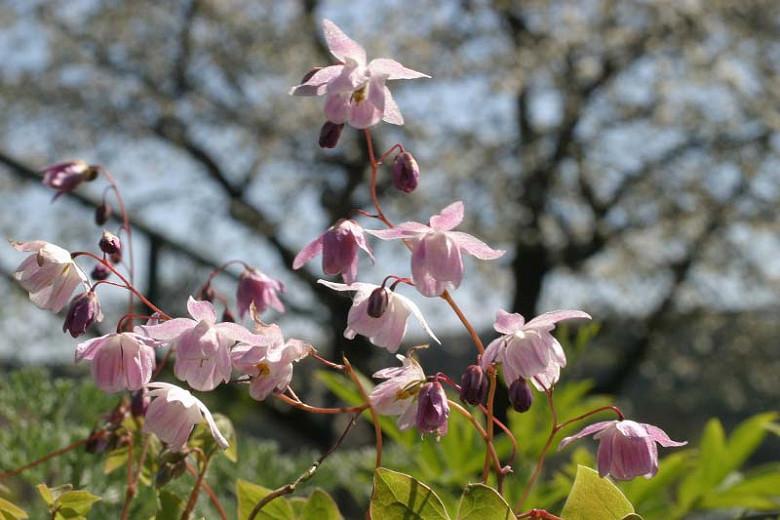 Epimedium × youngianum 'Roseum', Barrenwort 'Roseum', Bishop's Hat 'Roseum', Bishop's Mitre 'Roseum', Fairy Wings 'Roseum', Shade Plants, Shade Perennials, Pink Flowers, Groundcovers, Ground Cover