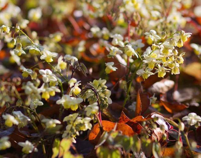 Epimedium × versicolor 'Sulphureum', Barrenwort 'Sulphureum', Epimedium macranthum 'Sulphureum', Epimedium sulphureum, Epimedium × youngianum 'Sulphureum', Shade Plants, Shade Perennials, Yellow Flowers, Groundcovers, Ground Cover