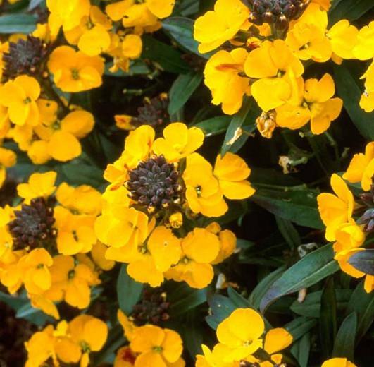 Erysimum 'Walberton's Fragrant Sunshine', Wallflower 'Walberton's Fragrant Sunshine', Erysimum  'Fragrant Sunshine', yellow wallflower, yellow erysimum