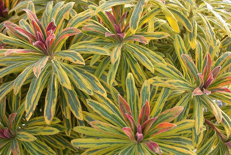 Euphorbia × Martinii 'Ascot Rainbow', Martin's Spurge 'Ascot Rainbow', Drought tolerant perennial, Deer resistant perennial, rabbit resistant