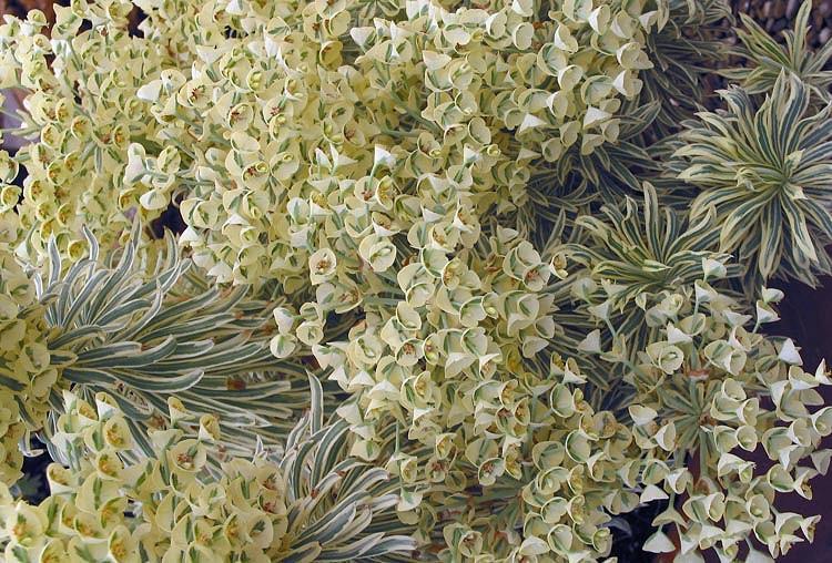 Euphorbia characias 'Tasmanian Tiger', Spurge 'Tasmanian Tiger', 'Tasmanian Tiger' Spurge, Variegated Spurge, Variegated Euphorbia