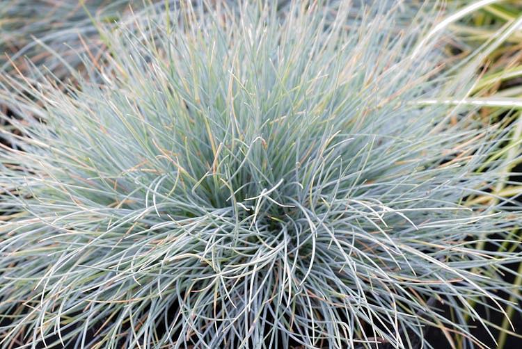 Festuca Glauca 'Blaufuchs',Blue Fescue 'Blaufuchs', Festuca Glauca Blue Fox, Festuca Glauca 'Blue Fox', Blue Fescue, drought tolerant grass, drought tolerant perennial