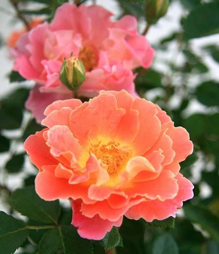 Rose 'Fruity Petals', Rosa 'Fruity Petals', Climbing Rose 'Fruity Petals', Rosa 'RADpetals', Climbing Roses, Yellow roses, Pink Roses, Bicolor Roses, Rose bushes, Garden Roses