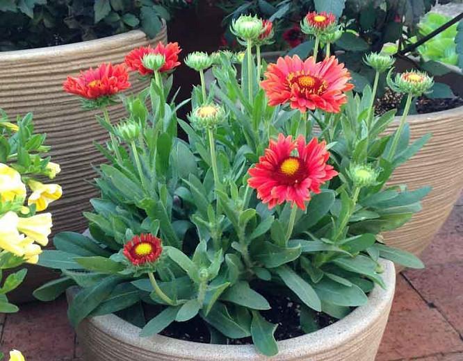 Gaillardia 'Celebration',Blanket Flower 'Celebration', Gaillardia x Grandiflora 'Celebration', Blanket Flowers, Red Flowers, Bicolor Flowers, Drought tolerant flowers, Salt tolerant flowers