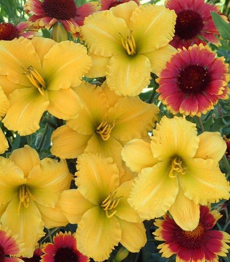 Hemerocallis Mint Condition, Daylily Mint Condition, Day Lily Mint Condition,Mint Condition Daylily, Midseason Daylily, Yellow daylilies, Yellow Daylily, Yellow flowers, Yellow Hemerocallis