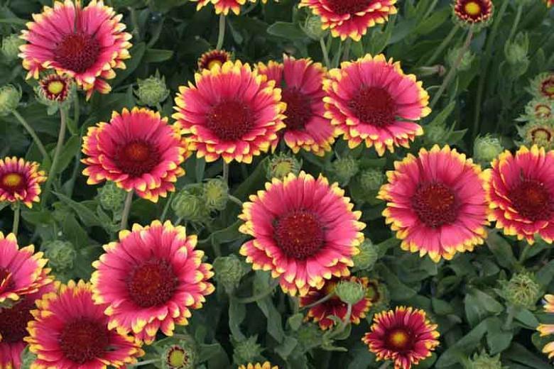 Gaillardia 'Sunset Popsy',Blanket Flower 'Sunset Popsy', Gaillardia x Grandiflora 'Sunset Popsy', Blanket Flowers, Yellow Flowers, Bicolor Flowers, Drought tolerant flowers, Salt tolerant flowers