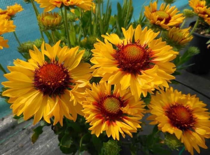 Gaillardia 'Sunset Sunrise',Blanket Flower 'Sunset Sunrise', Gaillardia x Grandiflora 'Sunset Sunrise', Blanket Flowers, Yellow Flowers, Bicolor Flowers, Drought tolerant flowers, Salt tolerant flowers