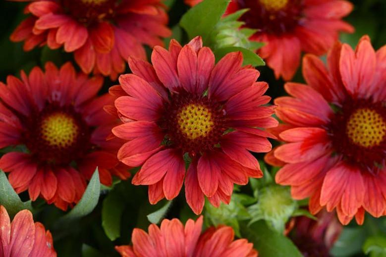 Gaillardia 'Mesa Red',Blanket Flower 'Mesa Red', Gaillardia x Grandiflora 'Mesa Red', Blanket Flowers, Red Flowers, Bicolor Flowers, Drought tolerant flowers, Salt tolerant flowers