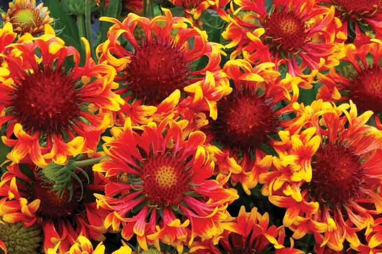 Gaillardia 'Sun Devil',Blanket Flower 'Sun Devil, Gaillardia x Grandiflora 'Sun Devil', Blanket Flowers, Yellow Flowers, Bicolor Flowers, Drought tolerant flowers, Salt tolerant flowers
