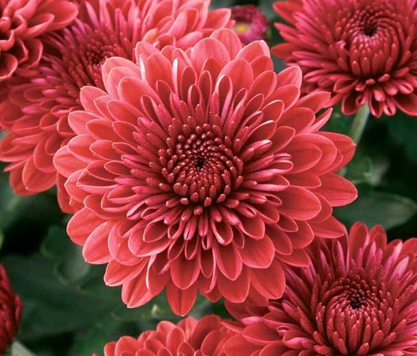 Chrysanthemum 'Jolly Cheryl', Garden Mum 'Jolly Cheryl', Florist's Mum 'Jolly Cheryl', Hardy Garden MumJolly Cheryl, Dendranthema Jolly Cheryl, Red Chrysanthemum, Fall Flowers