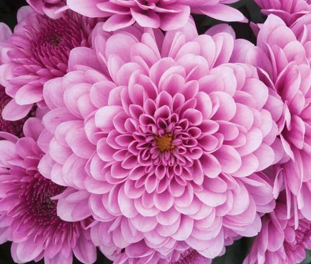 Chrysanthemum 'Cheryl Pink', Garden Mum 'Cheryl Pink', Florist's Mum 'Cheryl Pink', Hardy Garden Mum Cheryl Pink, Dendranthema Cheryl Pink, Pink Chrysanthemum, Fall Flowers