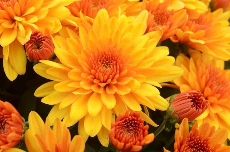 Chrysanthemum 'Fireglow Bronze', Garden Mum 'Fireglow Bronze', Florist's Mum 'Fireglow Bronze', Hardy Garden Mum Fireglow Bronze, Dendranthema Fireglow Bronze, Yellow Chrysanthemum, Fall Flowers